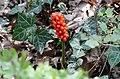 Arum maculatum fruits.jpg