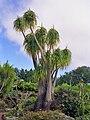 Asparagaceae - Beaucarnea recurvata Miami 1.jpg