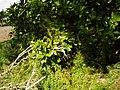Asparagus aethiopicus 'Sprengeri' L. (AM AK297421-1).jpg