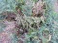 Asparagus horridus kz1.JPG