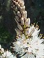 Asphodelus albus FlowersCloseup2 2009March28 SierraMadrona.jpg