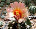 Astrophytum flowers 115.jpg
