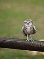Athene noctua -Whipsnade Zoo, Bedfordshire, England-8a (1).jpg