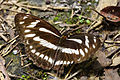 Athyma jina sauteri dorsal view 20150628.jpg