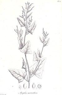 Atriplex micrantha cropped.jpg