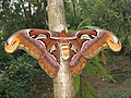 Attacus atlas - Atlas moth at Peravoor 2017 (28).jpg