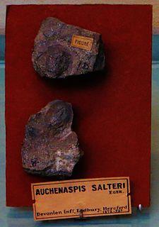 <i>Auchenaspis</i> genus of chordates