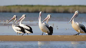Lake Yamma Yamma - The lake is an important area for Australian pelicans