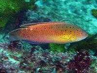 Austrolabrus maculatus