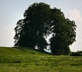 Avebury trees - geograph.org.uk - 841124.jpg
