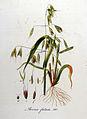 Avena fatua — Flora Batava — Volume v8.jpg