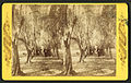 Avenue of olive trees, near Fernandina, Fla, from Robert N. Dennis collection of stereoscopic views.jpg