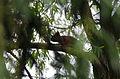 Azé - 20130504 - écureuil dans l'arbre.jpg