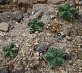 Aztekium valdezii plants.jpg