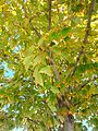 B30 Acer rubrum (Red Maple) Close-up.jpg