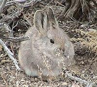 Un lapin gris clair au museau rond, avec des oreilles moyennes et des yeux noirs