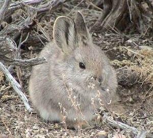 Pygmy rabbit - Image: BRACHYLAGUS IDAHOENSIS