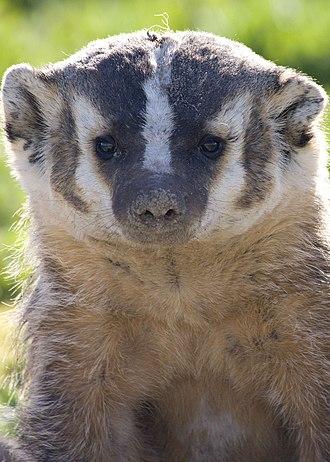 American badger - American badger