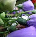 Balloon Flower With Raindrops (226688694).jpg