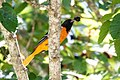 Baltimore Oriole (male) Boy Scout Woods High Island TX 2018-04-11 12-01-45 (41083681994).jpg