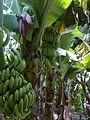 Banana Farm Chinawal 05.jpg