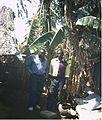 Banana tree growing (5372145537).jpg