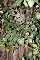 Banyan Tree Trunk and Leaves.jpg