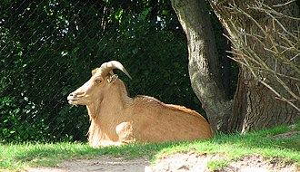 Roger Williams Park Zoo - Image: Barbary sheep