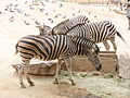 Barcelona-Zoo-Cebra de Chapman (Equus burchelli chapmanii).jpg