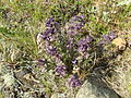 Bartsia alpina 1.JPG
