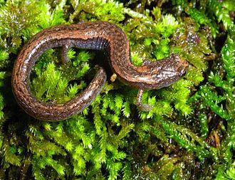 Sequoia slender salamander - Image: Batrachoseps kawia