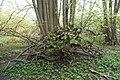 Baumwurzeln im Wald im Naturpark Lauenburgische Seen.jpg