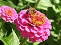 Bee on Zinnia elegans near Kings Park Eternal Flame-1-.jpg