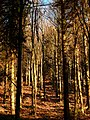 Beech Trees - panoramio.jpg