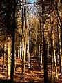 Beech Trees - panoramio.jpg