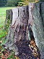 Beech stump - geograph.org.uk - 277770.jpg