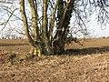 Beech with multiple trunks - geograph.org.uk - 1140980.jpg