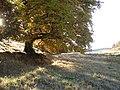 Beeches, Auldallan - geograph.org.uk - 605720.jpg