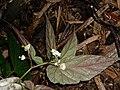 Begonia taiwaniana - 台湾秋海棠 by 石川 Shihchuan - 001.jpg