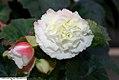 Begonia x tuberhybrida Non-Stop AppleBlossom 0zz.jpg