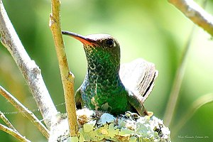 Glitter-throated Amazonia when brooding