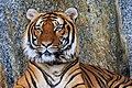 Berlin Tierpark Friedrichsfelde 12-2015 img26 Indochinese tiger.jpg