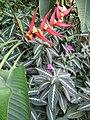 Berne botanic garden Heliconia bihai.jpg