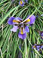 Berne botanic garden Iris unguicularis2.jpg