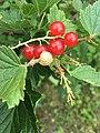 Berries snail.jpg