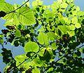 Betula maximowicziana.jpg