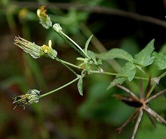 Heliantheae - Bidens biternata- Spanish needles