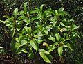 Bidens hawaiensis (5662748757).jpg