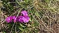 Bieltal-Primula farinosa.jpg