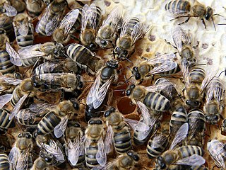 Queen bee dominant reproductive female bee in a colony